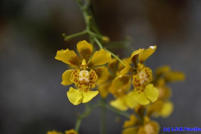 Grandiphyllum divaricatum (Lindl.) Docha Neto