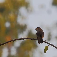 11_09-27-34 70Draw-0243af1 Subalpine Warbler