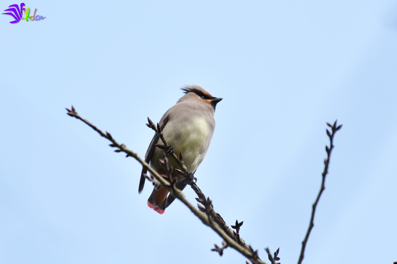 Japanese_Waxwing_5596