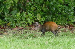 Red-rumped Agouti (Dasyprocta leporina) in the garden ...