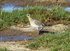 Pacific Golden-Plover  Pluvialis fulva by Neil Cheshire