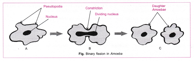 Cbse Class 10 Science Practical Skills  U2013 Binary Fission In