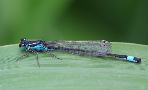 Blue-tailed Damselfly -Ischnura elegans -Langford Lake WT Wiltshire  (5) - Explored