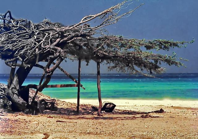 Aruba, Divi Divi Tree