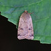 Lesser Yellow Underwing, St Bees, Cumbria, England
