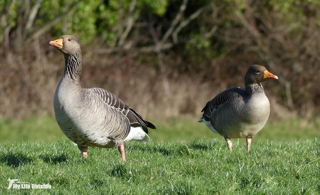 P1130324 - Greylag Goose