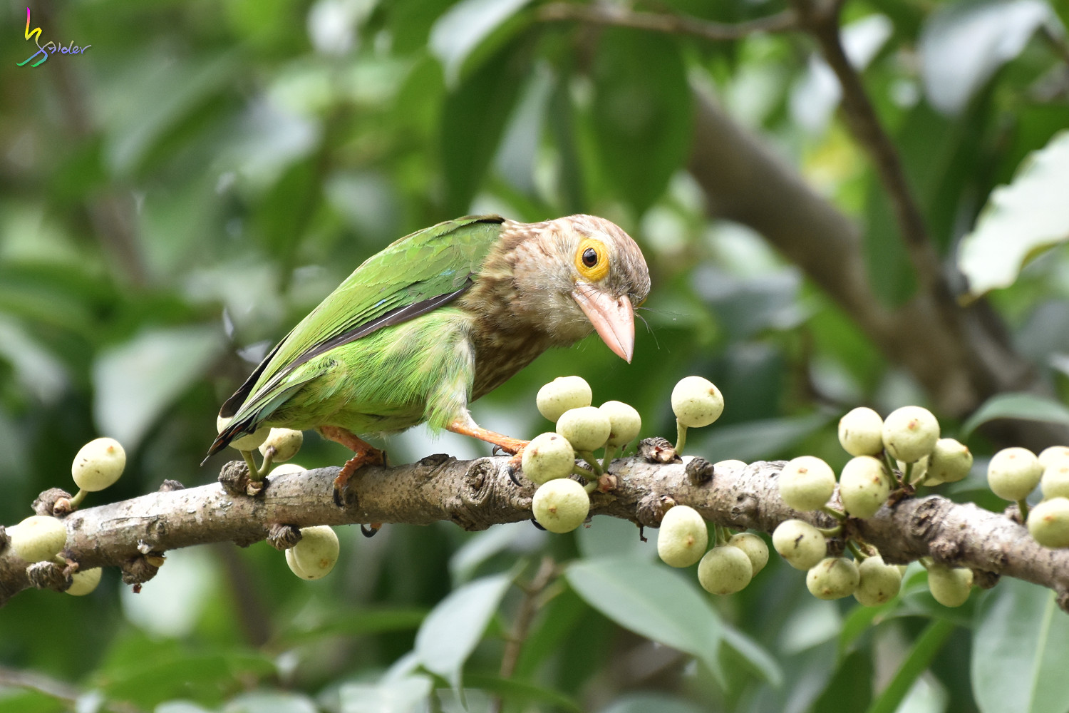 Lineat_Barbet_2065
