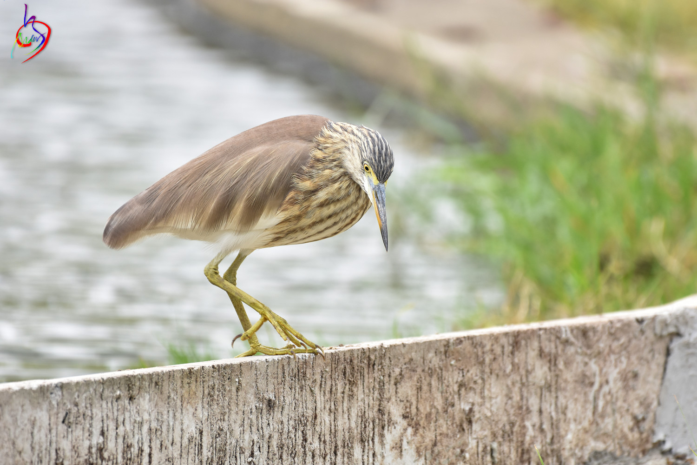 Pond_Heron_4178