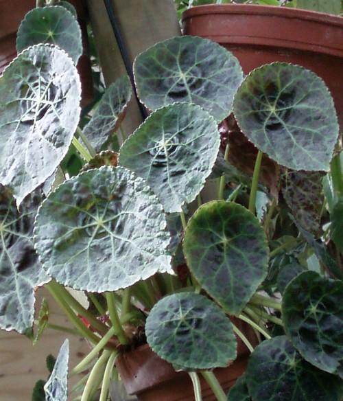 Begonia goegoensis 39778417752_5c0da34616_o