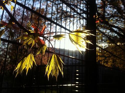 Ahorn leaves