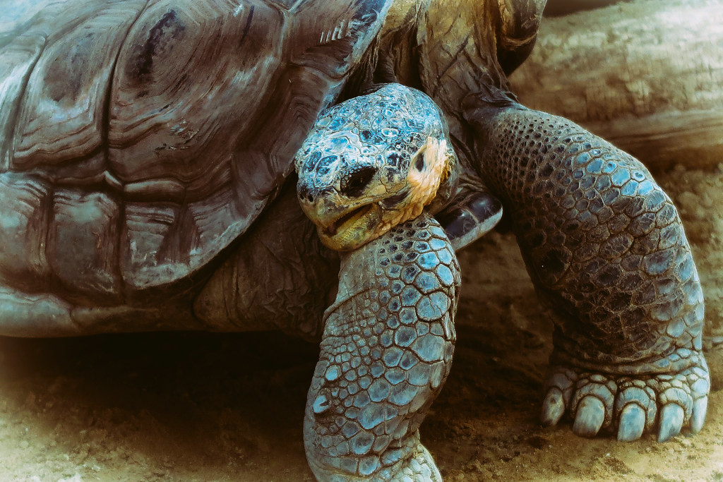 A Beautiful Galapagos Tortoise