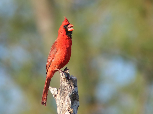 Northern Cardinal singing 05-20180228