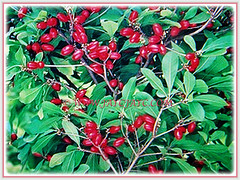 A prolific fruiting tree of Synsepalum dulcificum (Miracle Fruit, Miracle Berry, Miraculous Berry, Flavour/Sweet Berry), 10 Feb 2018