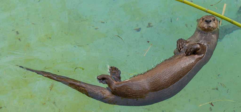 African Spotted Necked Otter_4