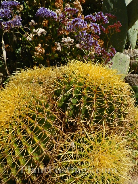 barrel cactus and statice