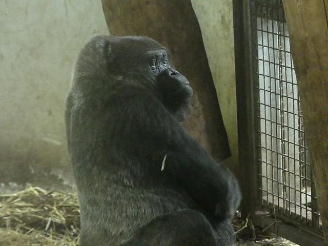 Gorilla Dalila, GaiaZOO