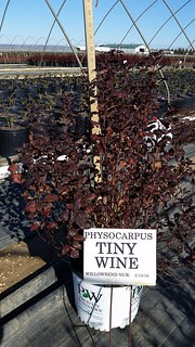 Physoscarpus Tiny Wine 3 gal 18-24 | by Johnson Farms