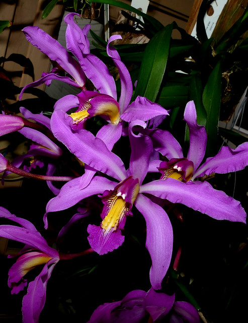 Laelia superbiens species orchid 1-18