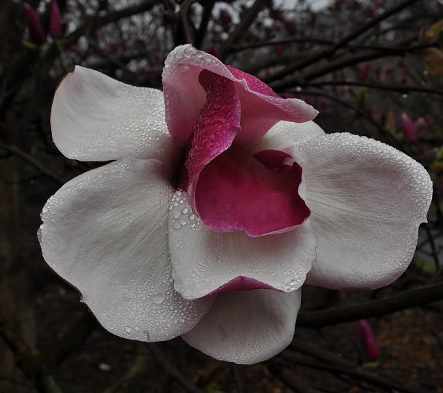 Magnolia x 'Todd Gresham' (6)