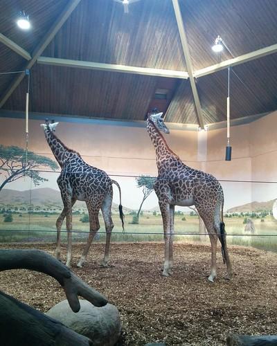 Giraffe (6) #toronto #torontozoo #mammal #giraffe #latergram