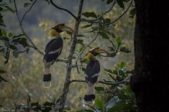 HolderGreat Hornbill. State bird of Kerala.