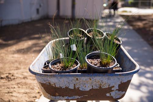 Carthay ES Planting