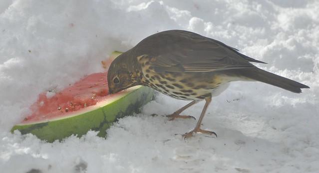 Drinking melon nectar