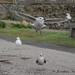 Seagull Taking Off_1270371