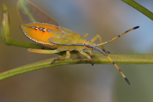 Eucalyptus Tip Wilter Bug nymph (Amorbus obscuricornis)