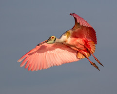 Roseate Spoonbill Inflight with Head Shadow on Wing