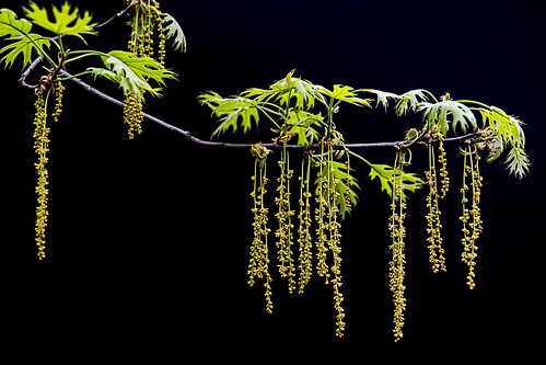 Hanging Tree Seeds