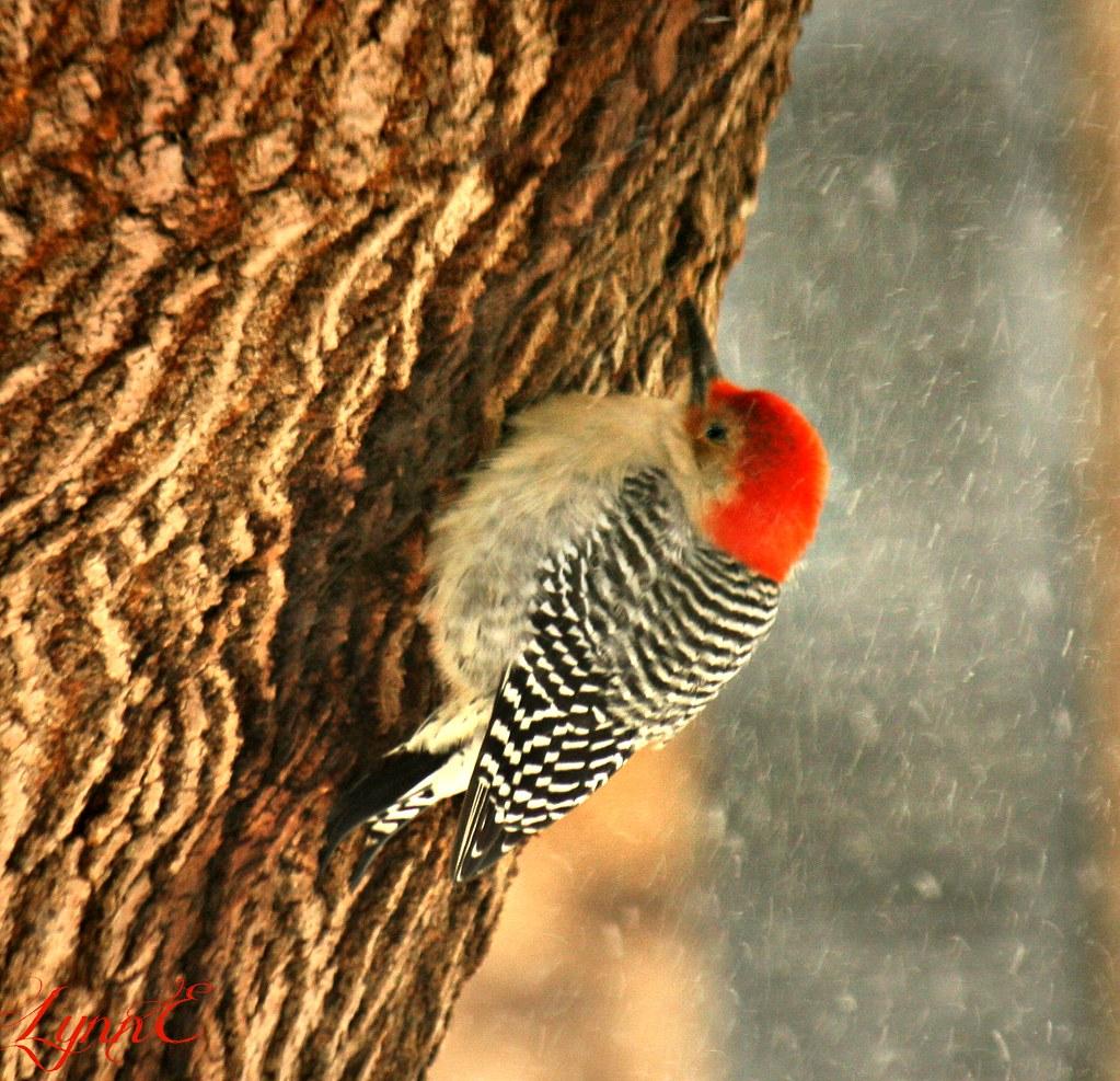 One Fuzzy Woodpecker