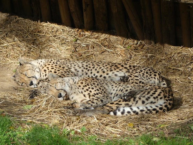 Geparden, GaiaZoo