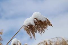 IMG_6644 Snow on Phragmites