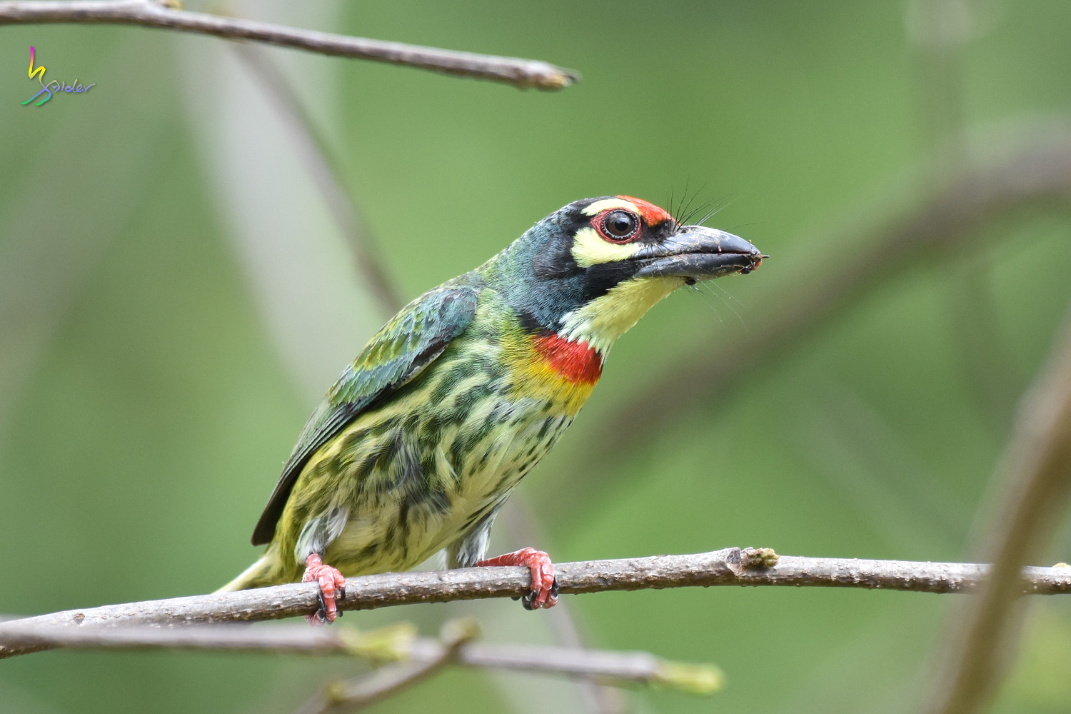 Coppersmith_Barbet_8566