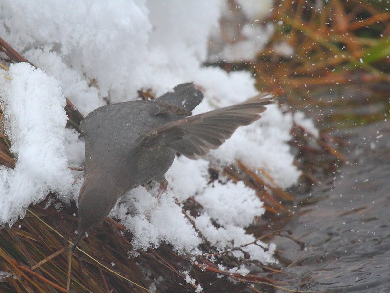 IMG_0022 American Dipper, Yellowstone National Park