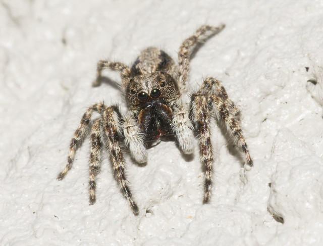 Salticidae Helpis Minitabunda (Female), Nikon D3400, AF Micro-Nikkor 105mm f/2.8