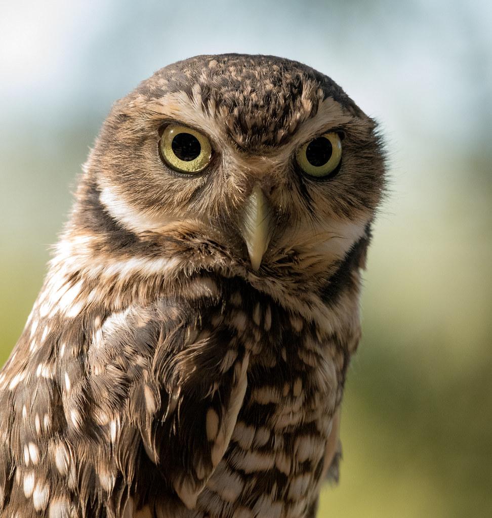 Burrowing Owl_4
