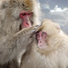 Snow Monkey Park Japan 2018, mom grooming her child in the onsen WM