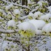 Witch-hazel in the snow