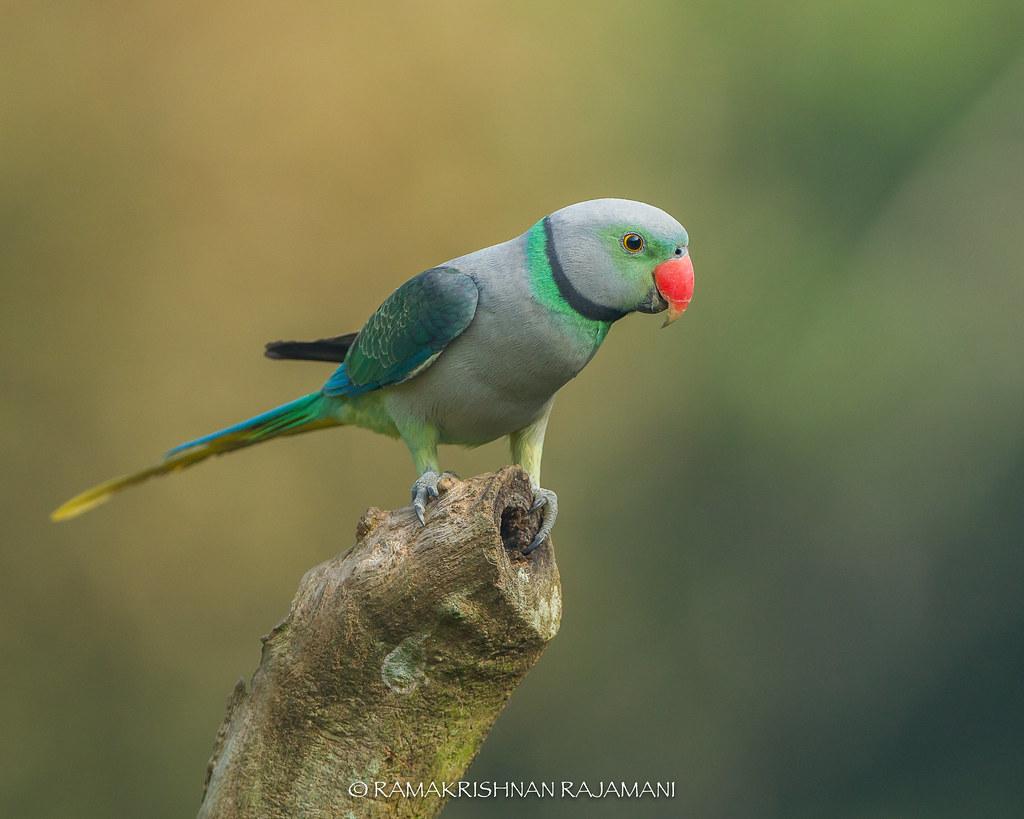 Malabar parakeet #200