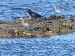 Godwit,Crow and Greenshank -Crop