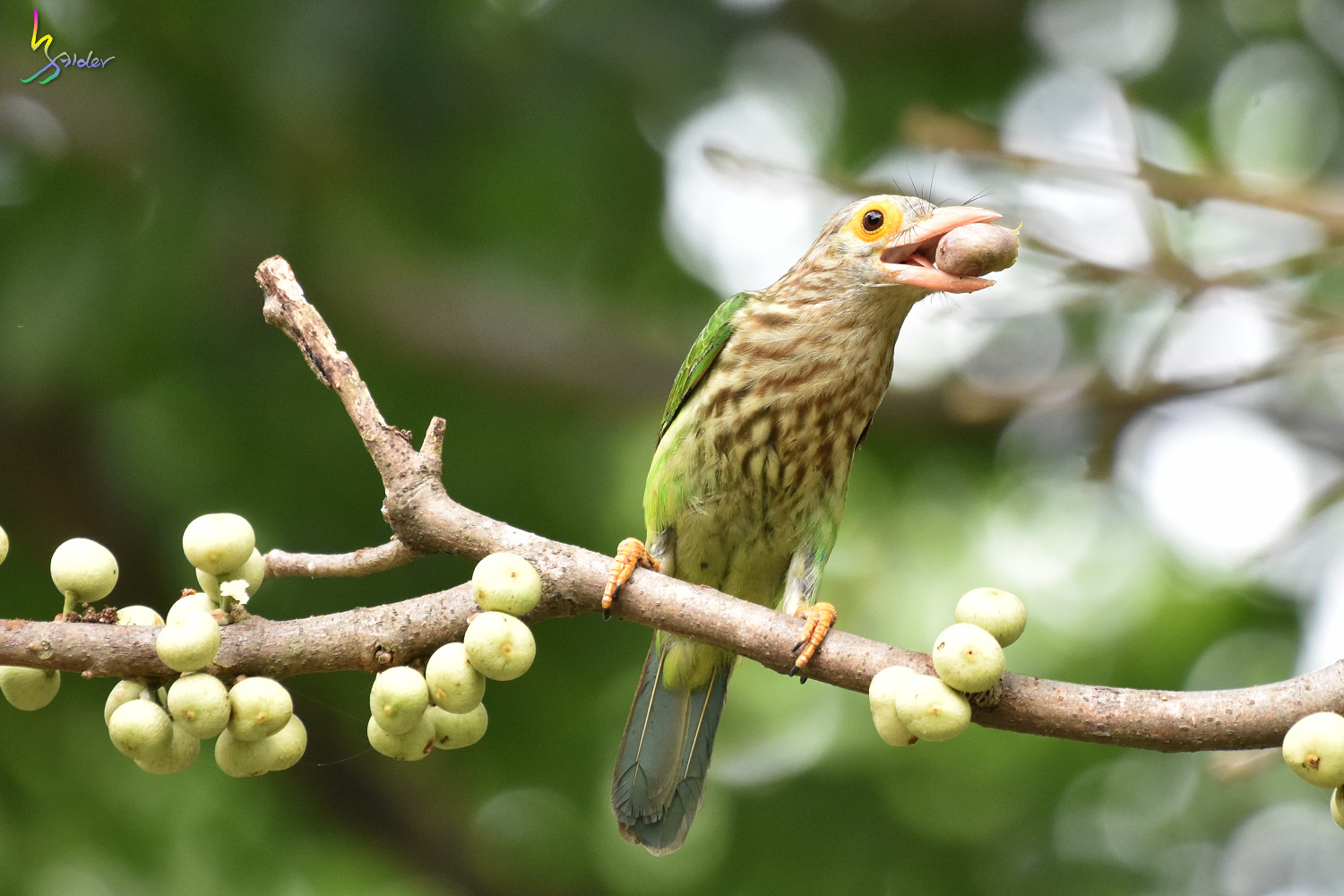 Lineat_Barbet_1824