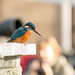 Kingfisher in town...