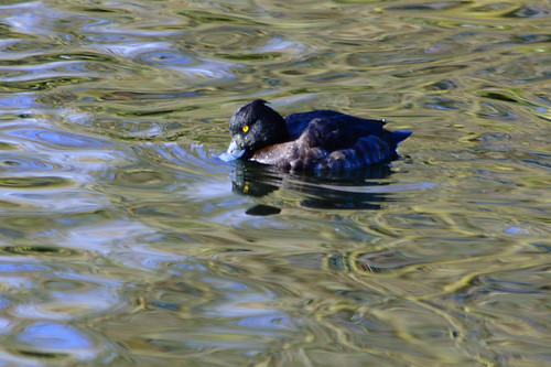 Tufted duck (female) swimming by