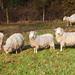 Wealden Sheep Kent