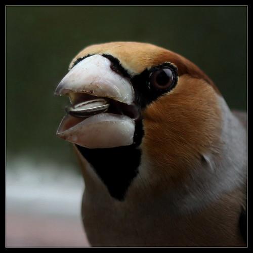 les visiteurs à plumes sauvages - 3 39239060335_30b2673610