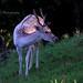 18 Young Fallow Deer buck