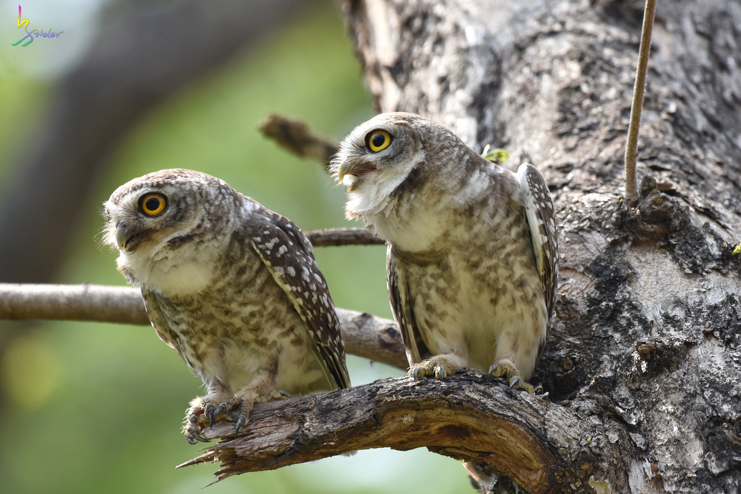Spotted_Owlet_4598