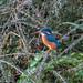 Kingfisher  ( Alcedo atthis ) Female
